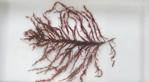 丹後の海の生き物(ムカデノリ)