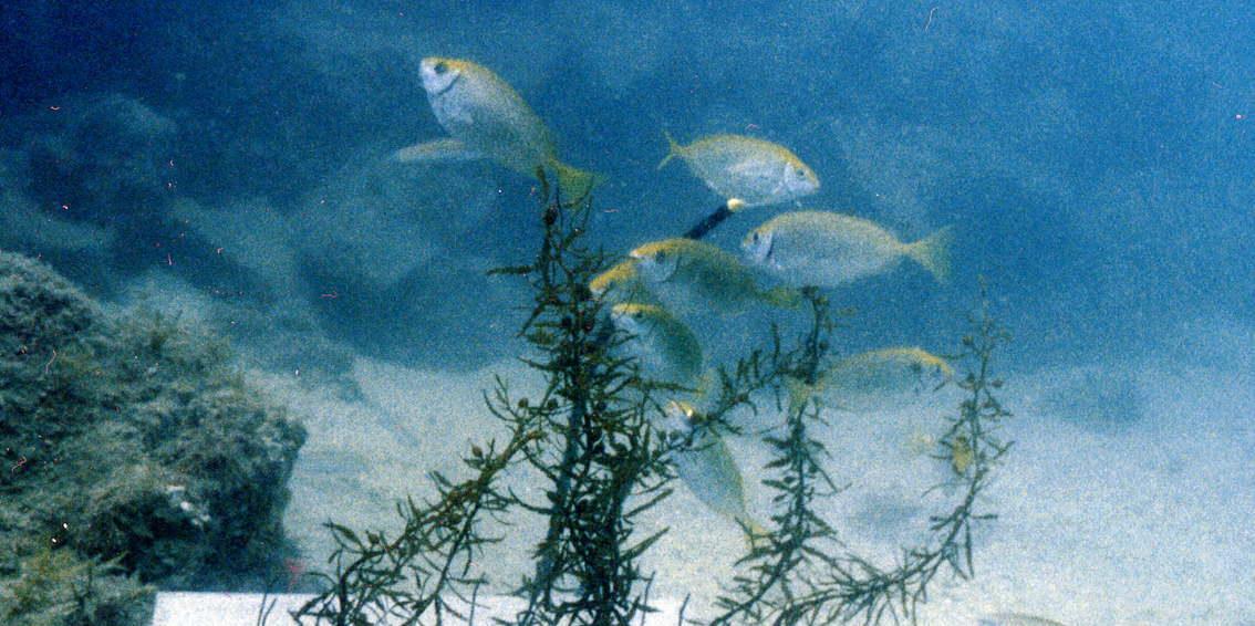 丹後の海の生き物アイゴ